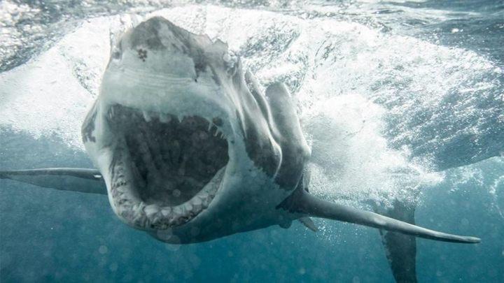 Normal witte haai