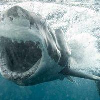 Thumbnail witte haai