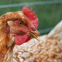 Thumbnail hen chicken