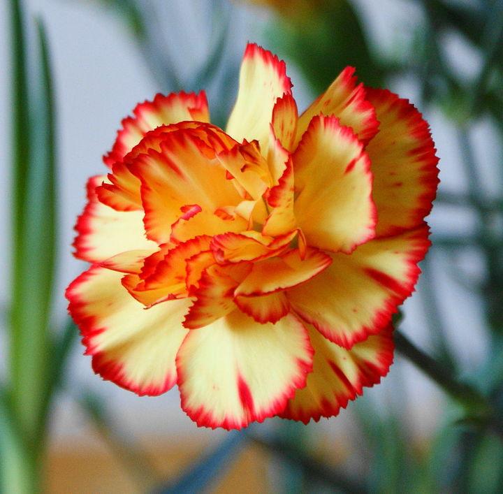 Normal dianthus caryophullus kz1