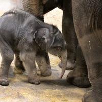 Thumbnail pasgeboren olifantje in artis. foto artis  ronald van weeren
