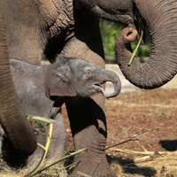 Thumbnail olifant